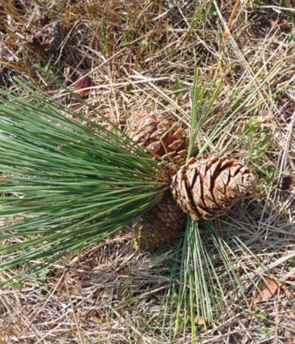 Rural Money Uses Of Pine Cones And Needles