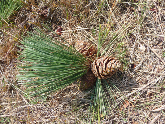 7 Rural Money Uses Of Pine Cones And Needles