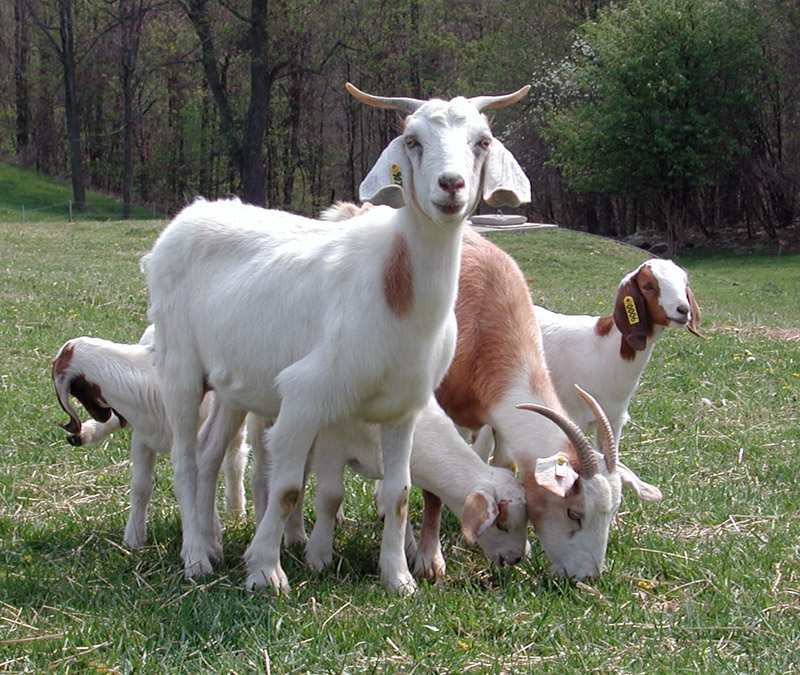 Raise Boer Meat Goats