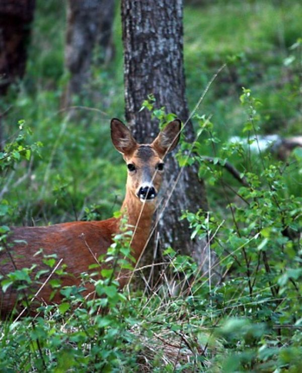 Deer Poaching