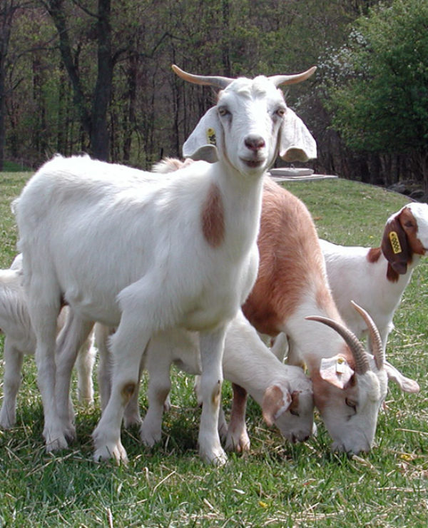 Raise Boer Meat Goats